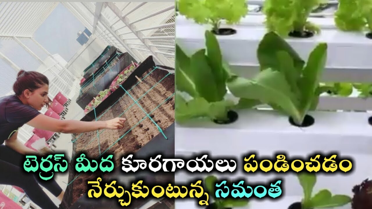 Samantha akkineni terrace vegetable garden